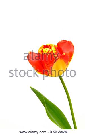 Tulip (Tulipa), red, yellow Stock Photo