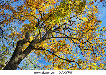 Maple (Acer sp.) with autumn-coloured leaves, Bavaria, Germany - Stock Photo