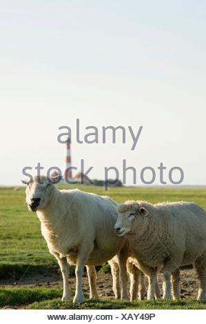 Sheep in front of Westerheversand Lighthouse, Westerhever, Eiderstedt, North Frisia, Schleswig-Holstein - Stock Photo