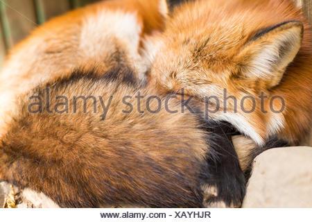 Sleeping red fox - Stock Photo