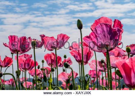 Schlafmohn, Schlaf-Mohn (Papaver somniferum), bluehendes Schlafmohnfeld, Oesterreich | opium poppy (Papaver somniferum), bloomin - Stock Photo
