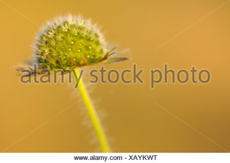 Scandinavia, Sweden, Halland, Dandelion, close-up - Stock Photo