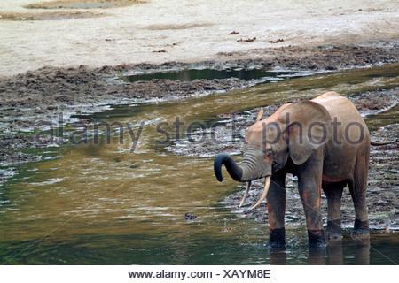 Forest elephant, African elephant (Loxodonta cyclotis, Loxodonta africana cyclotis), juvenile in pool, Central African Republic, Sangha-Mbaere, Dzanga Sangha - Stock Photo