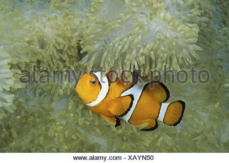 False Clown Anemonefish Amphiprion ocellaris - Stock Photo
