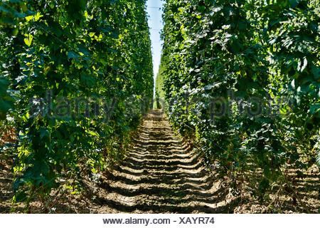 Germany, Bavaria, View of hop tree - Stock Photo