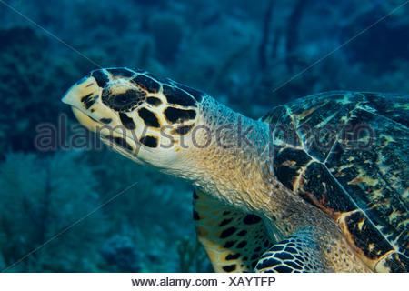 Hawksbill turtle, Key Largo, Florida - Stock Photo