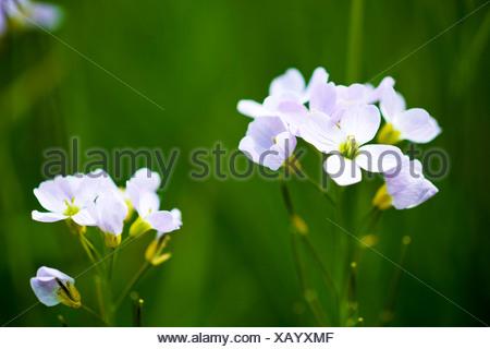 Mayflower or cuckoo flower - Stock Photo