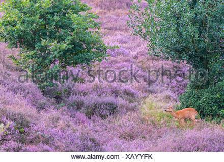 roe deer in flowering heathland - Stock Photo