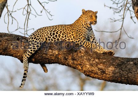 Leopard Panthera pardus Ulusaba Sir Richard Branson's Private Game Reserve Sabi Sands Game Reserve Mpumalanga South Africa cat - Stock Photo