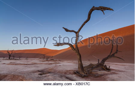 A warped camel thorn acacia tree, Vachellia erioloba, stands amid the sand dunes of Dead vlei, - Stock Photo