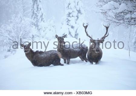 Hirschgruppe im Winter