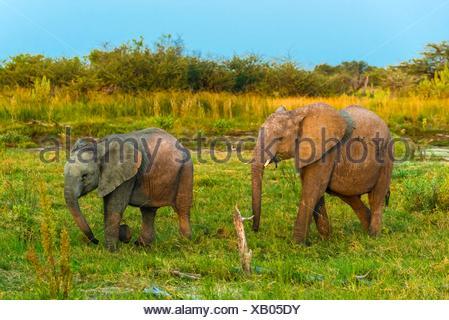 Baby elephants, Kwando Concession, Linyanti Marshes, Botswana. - Stock Photo