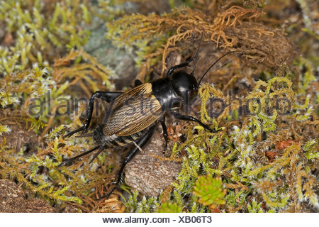 field cricket (Gryllus campestris), female, Germany - Stock Photo