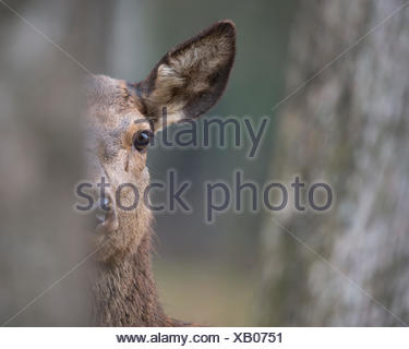Red deer (Cervus elaphus),female,adult animal hides behind tree,Rhineland-Palatinate,Germany - Stock Photo