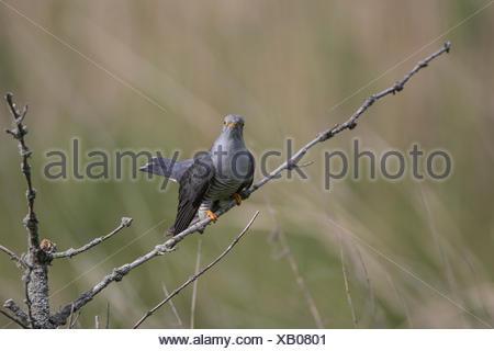 Common Cuckoo, Lower Saxony, Germany, (Cuculus canorus) - Stock Photo