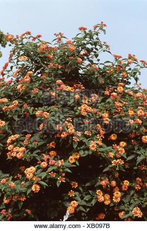lantana (Lantana camara 'Radiation', Lantana camara Radiation), blooming - Stock Photo
