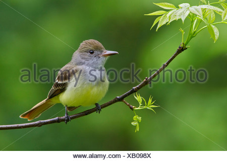 Great Crested Flycatcher (Myiarchus crinitus) perched on a branch in Manitoba, Canada. - Stock Photo