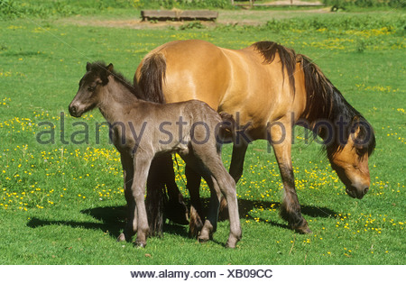 highland pony mare with foal - standing on meadow - Stock Photo
