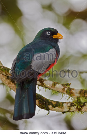 Choco Trogon (Trogon comptus) perched on a branch in the Milpe reserve in northwest Ecuador. - Stock Photo