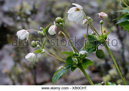 Chinese or Japanese anemone (Anemone hupehensis), invasive plant in Hawaii, Big Island, United States - Stock Photo