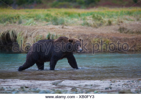 Brown Bear walks across Kinak Lagoon during a Autumn Salmon run, Katmai national park and Preserve, Alaska Peninsula, Alaska - Stock Photo
