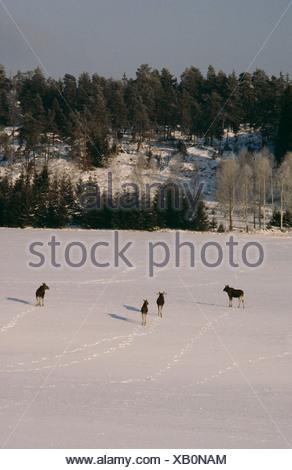 Elk walking through snow covered landscape - Stock Photo