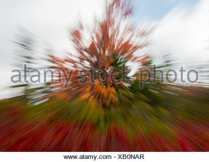 Red leaves at Dolly Sods with zoom - Stock Photo