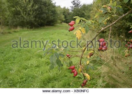 Dog-rose - Rosa canina - Stock Photo