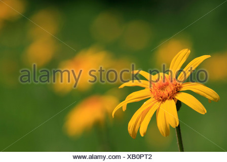 Leopard's Bane, Wolf's Bane or Mountain Arnica (Arnica montana), medicinal plant - Stock Photo