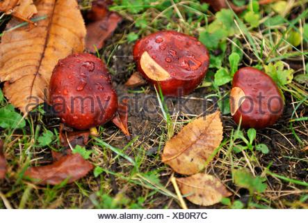 Chestnuts (Castanea) on damp ground, autumn mood, Stuttgart, Baden-Wuerttemberg, Germany, Europe - Stock Photo