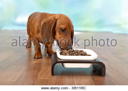 Short-haired dachshund dog - munching - Stock Photo