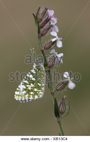 animal animals butterfly butterflies insect insects invertebrate invertebrates arthropod arthropods white whites europe - Stock Photo