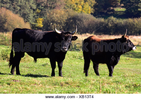 Heck cattle - heck cattles - bull and cow - aurochs - pair (Bos primigenius f. taurus) - Stock Photo