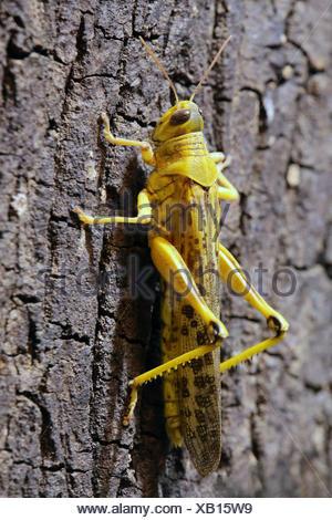 macro desert locust schistocerca gregaria - Stock Photo
