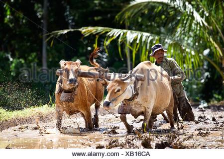 Indonesian farmer plowing a rice field with oxen, Terara, Lombok island, Nusa Tenggara Barat Province, Indonesia - Stock Photo