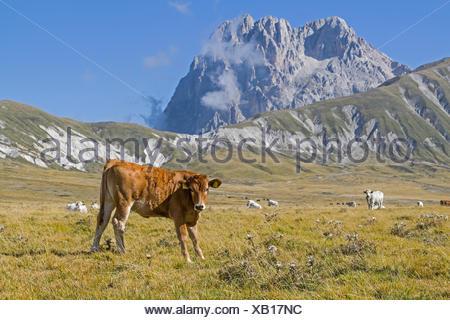 Kuh auf einer Wiese in den Abruzzen mit dem Gipfel des Campo Imperatore - Stock Photo