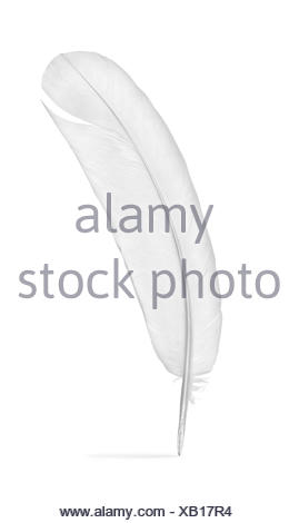 Feather of a pigeon isolated on a white background. - Stock Photo