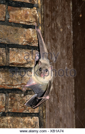 Egyptian Fruit Bat Egyptian Rousette Rousettus aegyptiacus nocturnal animal animals bats - Stock Photo