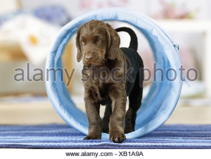 Agility : Flat Coated Retriever puppy in tunnel - Stock Photo