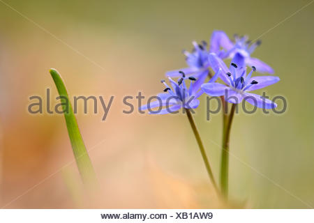 twin-leaf squill (Scilla bifolia), flowering, Germany - Stock Photo
