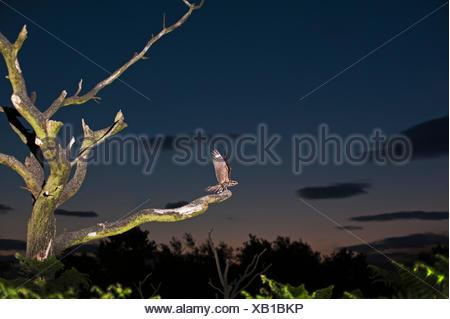 European Nightjar, Caprimulgus europaeus male on song perch Norfolk Summer - Stock Photo