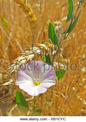 field bindweed, field morning-glory, small bindweed (Convolvulus arvensis), blooming in a wheat field, Germany, Baden-Wuerttemberg - Stock Photo