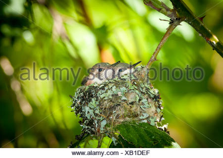 Two young (selasphorus rufus) humming birds waiting for the next feeding. - Stock Photo