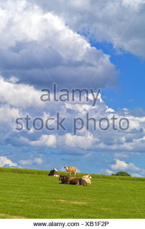 domestic cattle (Bos primigenius f. taurus), cows on a pasture, Germany, Mecklenburg-Western Pomerania - Stock Photo