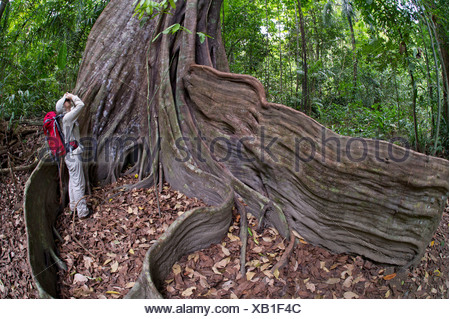 Female hiker at the buttress roots of a Strangler fig or Banyan Fig (Ficus subgenus Urostigma), Sirena, Corcovado National Park - Stock Photo