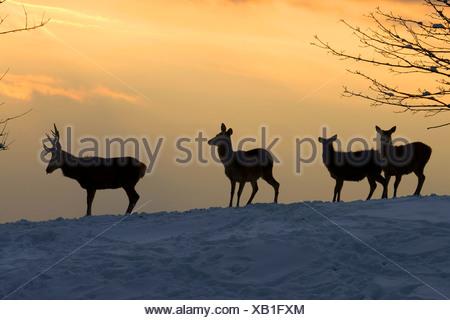 red deer (Cervus elaphus), group in evening mood on a snow covered field, Austria, Vorarlberg - Stock Photo