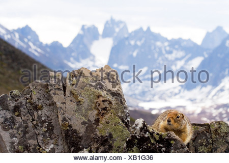 Arctic Ground Squirrel (Spermophilus parryii) on a rock, Tombstone Mountains, Tombstone Teritorial Park in the back, Yukon - Stock Photo