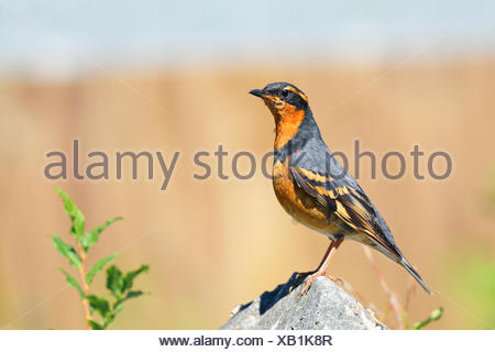 Varied trush (Ixoreus naevia), male standing on a stone, Canada, Vancouver - Stock Photo