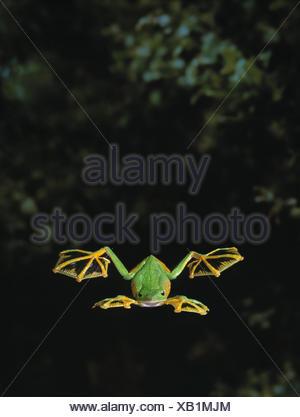Wallace's / Abah river flying frog (Rhacophorus nigropalmatus) gliding, showing use of webbed feet - Stock Photo