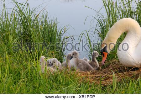 white swan swan anatids watwerfowls Cygnus olor white swans swans swans bird birds waterfowls brood spring hatching nest ne - Stock Photo